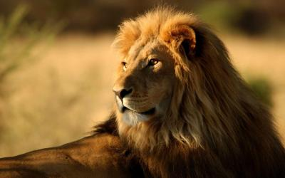 Lion Wallpapers - Wallpaper Cave