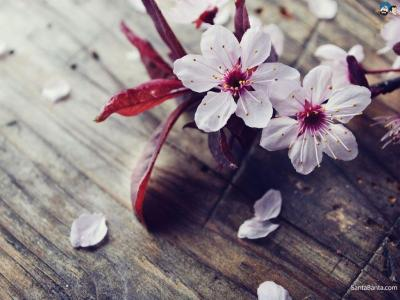 Cherry Blossom Wallpapers - Wallpaper Cave