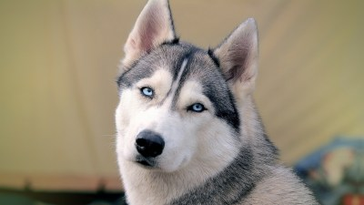 Husky Wallpapers High Resolution and Quality Download