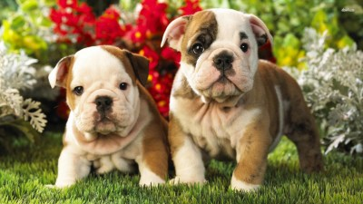 Old English Bulldog Wallpapers High Resolution and Quality Download