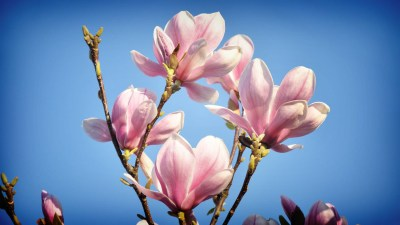 Magnolia HD Wallpapers