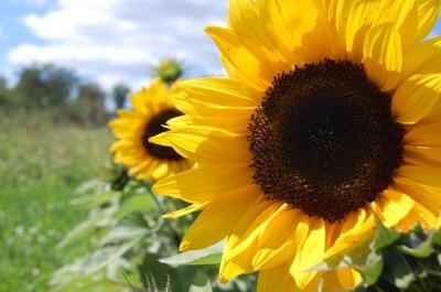 Sunflower Wallpaper Desktop (67+ pictures)