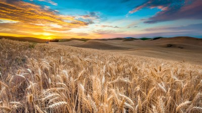Wallpaper Field, 4k, HD wallpaper, wheat, spikes, sky, clouds, Nature #5190