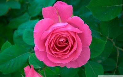 Pink Rose 4K HD Desktop Wallpaper for 4K Ultra HD TV • Wide & Ultra Widescreen Displays • Tablet ...
