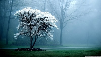 White Magnolia Tree 4K HD Desktop Wallpaper for 4K Ultra HD TV • Wide & Ultra Widescreen ...