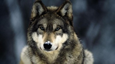 Wolf wallpaper HD ·① Download free amazing full HD backgrounds for desktop, mobile, laptop in ...