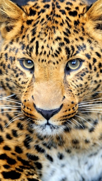 Cheetah Background Images ·①