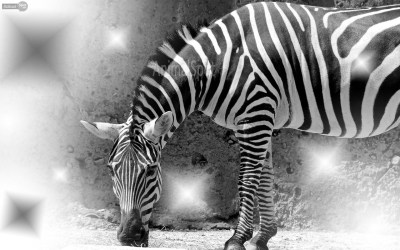 Zebra background ·① Download free stunning HD wallpapers for desktop computers and smartphones ...