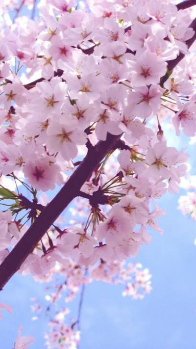 Sakura Flower Wallpaper ·① WallpaperTag