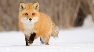 Fox wallpaper ·① Download free beautiful backgrounds for desktop, mobile, laptop in any ...