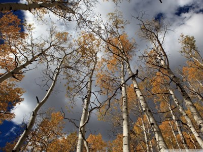 Birch Tree wallpaper ·① Download free awesome HD backgrounds for desktop computers and ...