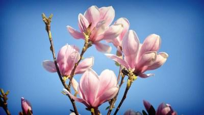 Magnolia Wallpaper ·①