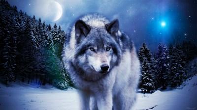 Timber Wolf Wallpaper ·①