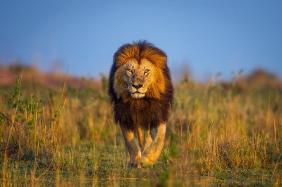 animals, Wildlife, Lion, Nature Wallpapers HD / Desktop and Mobile Backgrounds