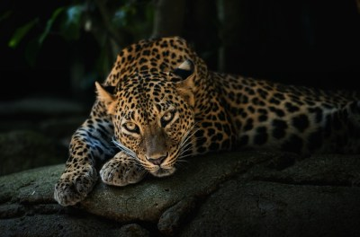 animals, Leopard Wallpapers HD / Desktop and Mobile Backgrounds