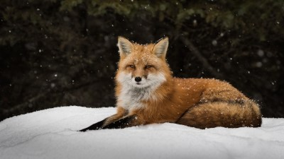 fox, Winter, Snow Wallpapers HD / Desktop and Mobile Backgrounds