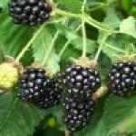 Moras en el Huerto ¿por qué no cultivar Frutos Silvestres?