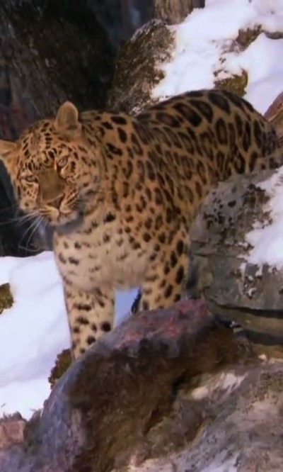 Amur Leopard live wallpaper Android App - Free APK by droidcounty