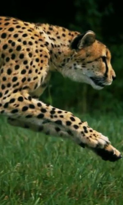 Cheetah live wallpaper Android App APK by droidcounty