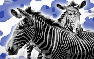 Cool Zebra Wallpapers - impremedia.net