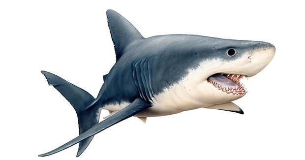 Ultimate guide to Australian sharks   Australian Geographic