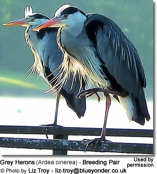 Grey Herons   Beauty of Birds Gender ID
