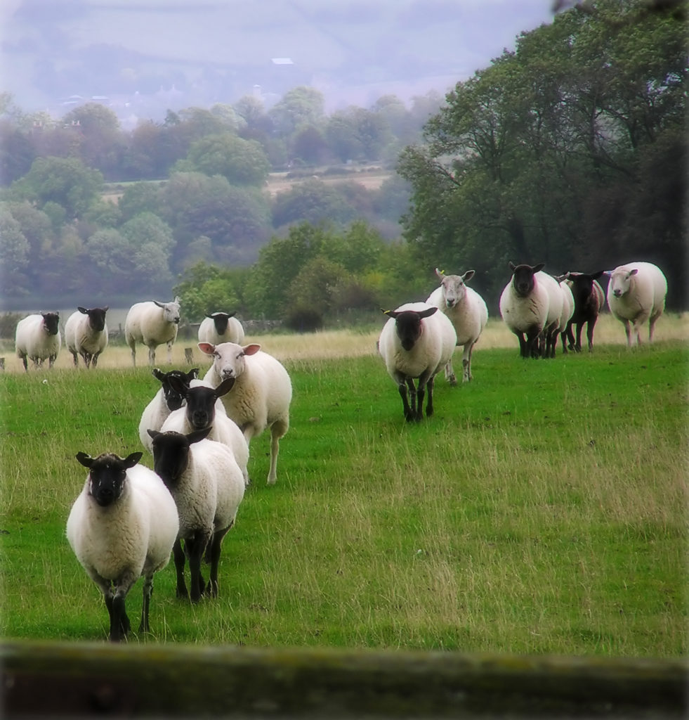 Sheep on the landscape taken in Somerset England