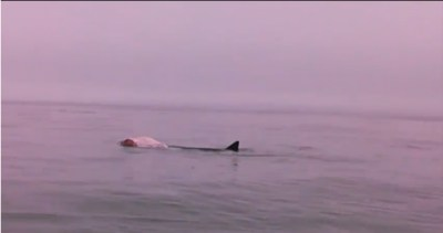 Great white shark sighting | Boothbay Register