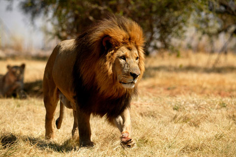 The Lion  Panthera leo   DesertUSA A male lion looks larger because of its mane