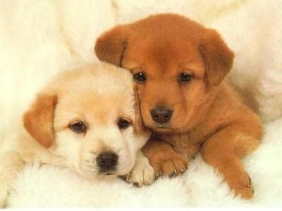Cute Puppies Dogs Wallpaper HD.jpg Desktop Background
