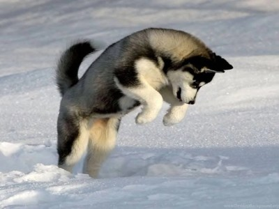 Dogs: Dog Playing Snow Animal Winter Cool Wallpapers For HD 16:9 ... Desktop Background