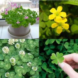 Four Leaf Clover Seeds Grow Your Own Luck 4 Leaf Seed Clover