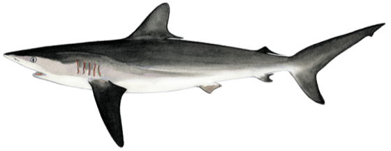Which sharks and rays were listed at CoP17    CITES FAO