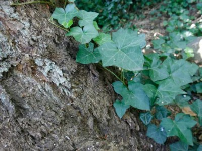 How and why you should get rid of English, Irish ivy