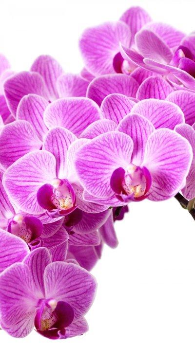 Purple Orchid Wallpaper - Mobile & Desktop Background
