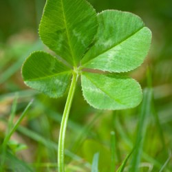Looking Over the Four Leaf Clover « Home Grown Edible Landscapes