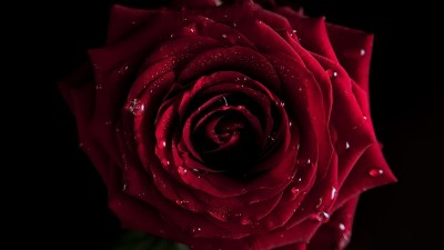 Red Rose Wallpapers, Pictures, Images