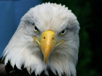 Bald Eagle Wallpapers | HD Wallpapers | ID #4913