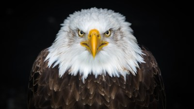Bald eagle 4K 8K Wallpapers | HD Wallpapers | ID #25055