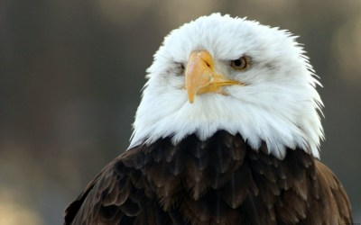 Bald Eagle HD Wide Wallpapers | HD Wallpapers | ID #4951