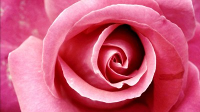 Beautiful Pink Rose Wallpapers | HD Wallpapers | ID #8678