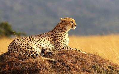 Cheetah 4K Wallpapers | HD Wallpapers | ID #18592