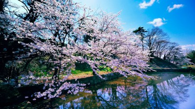 Cherry Blossom Trees Wallpapers | HD Wallpapers | ID #11593
