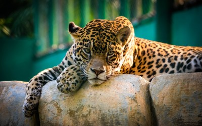 Jaguar Mexico Wallpapers | HD Wallpapers | ID #14770