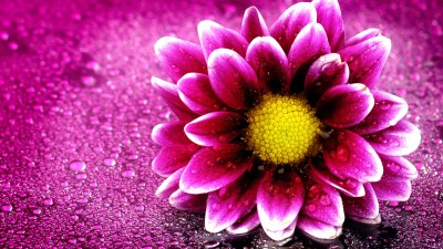 Pink Flower 4K Wallpapers | HD Wallpapers | ID #19676