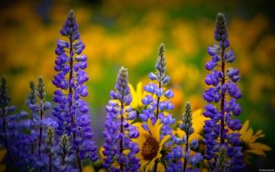 Washington Wildflowers Wallpapers | HD Wallpapers | ID #13814