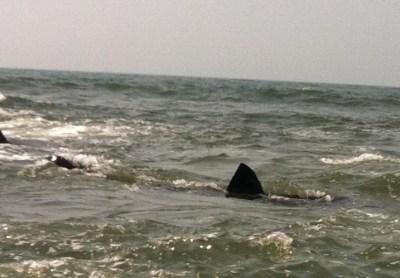 Atlantic Beach Shark Sightings Likely Harmless Basking Sharks