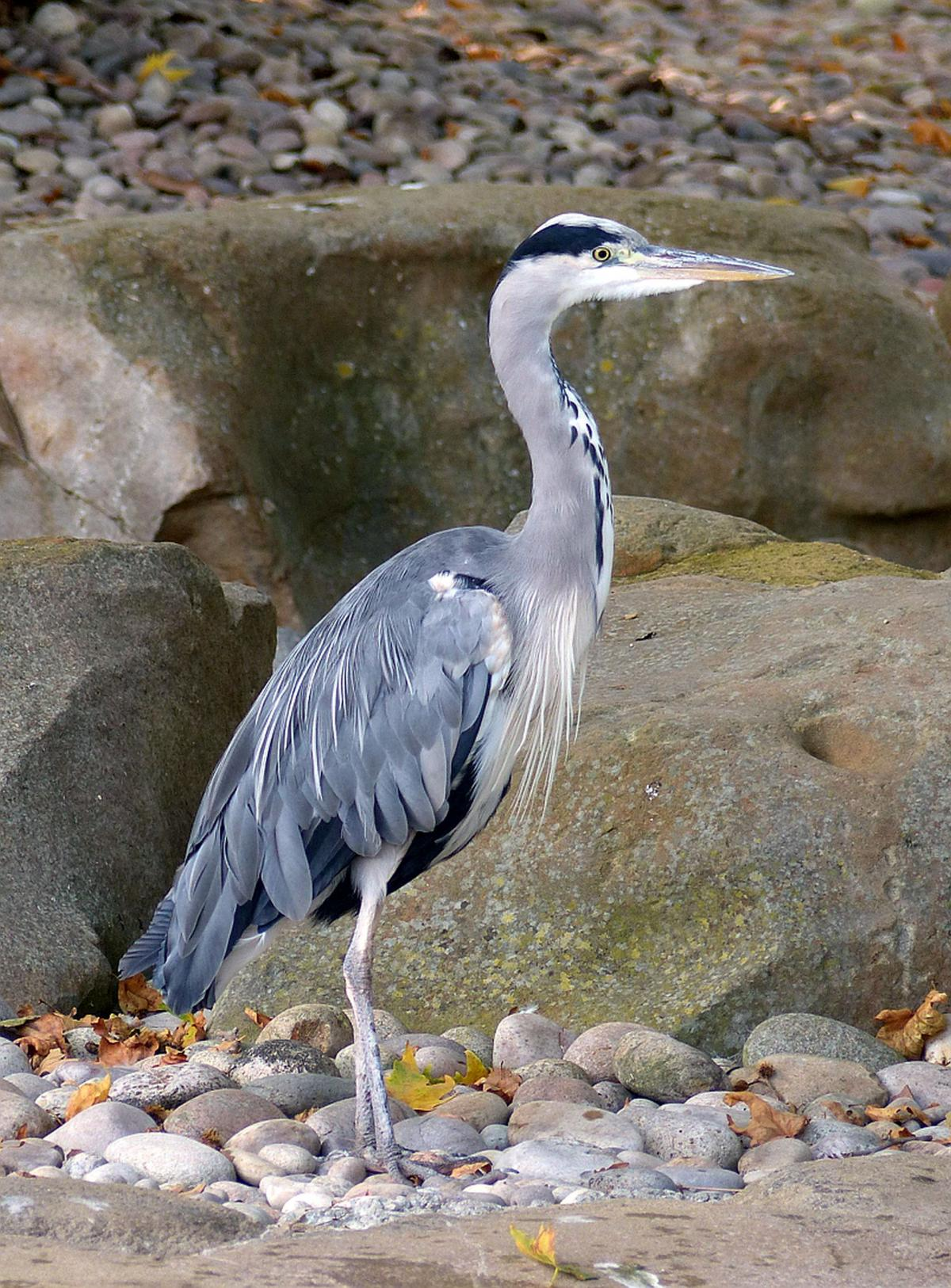 Grey heron   New Zealand Birds Online Image  Grey heron  Adult  London Zoo  August 2017  Image  copy  Alan  Tennyson