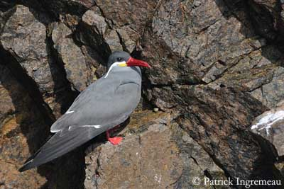 Inca Tern Inca Tern is gregarious  living and nesting in huge colonies of several  thousands of birds  often close to the gulls  colonies