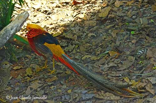 Golden Pheasant Actually  these bright colours could be susceptible to become paler if  exposed to sun for long hours during the day  The Golden Pheasant is a very  popular
